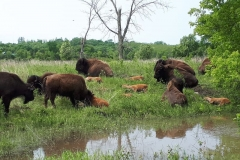 Minnesota Bison Conservation Herd