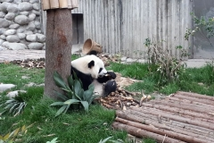 Giant Panda Breeding Research Centre, Chengdu